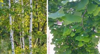 La top ten degli alberi mangia-smog: smaltiscono la CO2 e abbattono il calore delle città