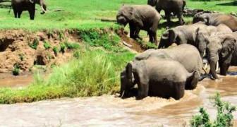 Emocionante salvataje de elefantes al pequeño del branco
