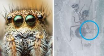 Diese seltsam springende Spinne säugt ihre Jungen wie ein Säugetier