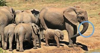 Die Natur geht zum Gegenangriff über: Elefanten entwickeln sich dahin, ihre Stoßzähne zu verlieren und sich vor den Jägern zu retten