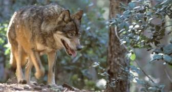 Ottime notizie per la fauna italiana: il lupo popola sempre più territori e il castoro torna dopo 450 anni