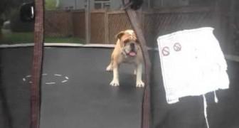 Animali e bambini hanno molto in comune, a dimostrarvelo è questo simpatico bulldog