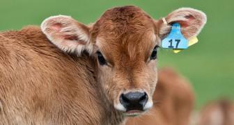 Doordat er minder vlees gegeten wordt zijn er sinds 2007 jaarlijks een half miljard dieren gered