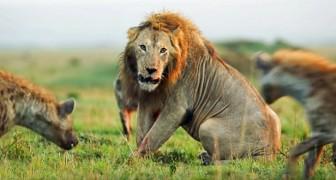 Deze boeiende confrontatie tussen een oude leeuw en een roedel hyena's... heeft een onverwacht einde