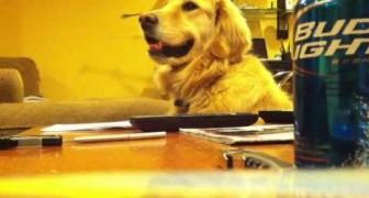 Sabias que los perros Golden Retriever tienen oido musical??...aqui te damos una demostacion