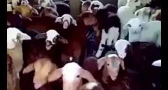 Un gruppo di tenerissime pecorelle risponde in coro