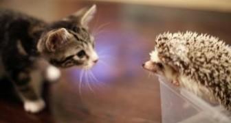 Gatinho e porco-espinho se encontram pela primeira vez