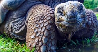 Trovati dei piccoli di tartarughe giganti delle Galapagos per la prima volta dopo 100 anni