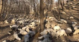 In Cina sono state salvate 174 volpi bianche dalla produzione di pellicce: ora vivono in un rifugio buddista