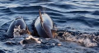 Gli esperti hanno analizzato 50 mammiferi marini spiaggiati e hanno trovato questa caratteristica in comune