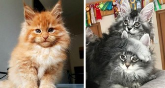 19 lieve Maine Coon kittens die niet kunnen wachten om groot en fascinerend te worden