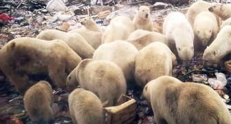 Eisbären dringen auf der verzweifelten Suche nach Nahrung in Städte ein: eine unhaltbare Situation