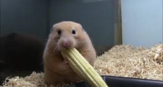 An unusal hamster!
