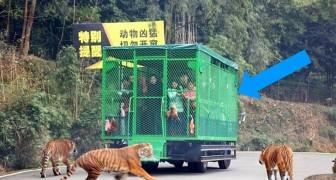 Questo zoo in Cina mette i visitatori nelle gabbie mentre gli animali sono liberi di muoversi
