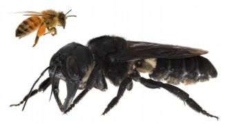 On croyait qu'elle avait disparu, mais la plus grosse abeille du monde vit encore sur notre planète