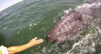 Mother whale lifts her calf out of the water for a closer enconter!