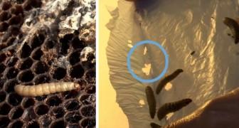 Een Italiaanse biologe ontdekt bij toeval larven die plastic eten