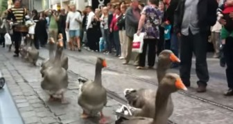 Yes, there is also a geese parade!!
