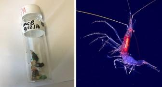 Plastic spaart zelfs de diepzee niet: er zijn besmette dieren in de Mariana Trench gevonden