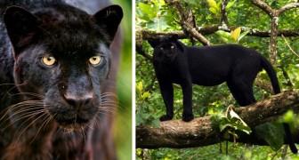 Voor het eerst sinds meer dan 100 jaar is een zwart luipaard in de natuur gespot