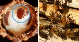 Un team di fisici italiani scopre una nuova arma contro l'acaro killer che devasta le colonie di api