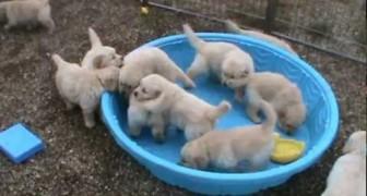 Ces goldens veulent leur piscine... remplie. Vite!