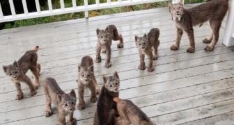 Hij hoort geluiden op de veranda, wanneer hij naar buiten komt, staat hij voor een complete spelende familie lynxen