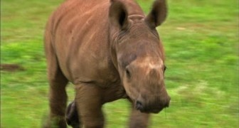 Baby rhino recovering from a gunshot is greatful to his rescuers