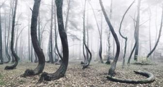 In Polen is een bos vol kromme bomen en niemand weet waarom ze er zo uitzien