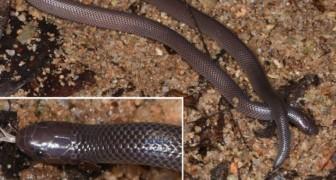 Een nieuwe slangensoort is ontdekt: hij doodt zijn prooi met de zijtanden zonder zijn bek zelfs te openen