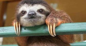 Les paresseux vivent plus longtemps – et cette fois, c'est la science qui le dit