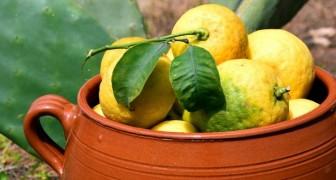 Voici comment cultiver un citronnier à la maison pour ne plus acheter de citrons au supermarché