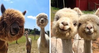 21 foto's van alpaca's die je zelfs op de slechtste dag laten lachen
