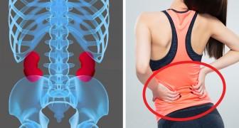 Les reins sont des organes fondamentaux : voici 8 habitudes simples pour les garder en bonne santé
