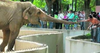 La commovente storia di Flavia, l'elefante più triste del mondo