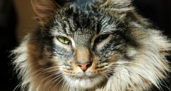 Selon cette étude, les chats sont parfaitement capables de reconnaître la voix de leur maître