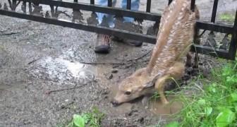 Il Salvataggio Del Piccolo Cervo Incastrato Nel Cancello