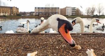 Brood geven aan watervogels is geen gebaar van liefde: in Frankrijk stierven 30 zwanen door toeristen