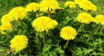 Tutti conosciamo questa pianta, ma l'abbiamo sempre sottovalutata: tutti i benefici del dente di leone