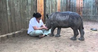 Orphan Rhino Shows All His love