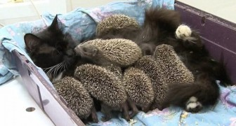 These hedgehogs are orphans, but a very special adoptive mother comes to their rescue!
