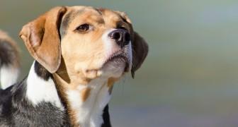 Hunde können den Geruch von Krebs mit einer Genauigkeit von 97% erkennen: die Studie