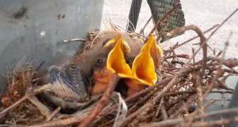 Un nido di uccelli in una stazione da 115.000 volts