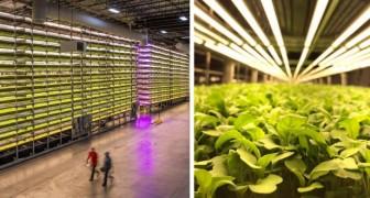 In questa azienda si coltivano verdure senza terreno e senza sole... di ottima qualità: ecco come