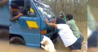 Un chien aide ses maîtres à pousser le camion sous la pluie battante : cette photo vaut mille mots