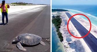 La tartaruga torna sulla spiaggia per depositare le uova: ma ad accoglierla trova una pista di atterraggio