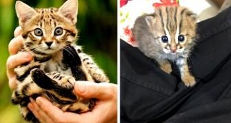 Dies ist die kleinste Katze der Welt: Sie lebt in Indien und kann in die Handfläche passen