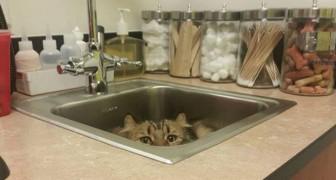 20 immagini esilaranti di gatti che hanno provato (inutilmente) a nascondersi dal veterinario