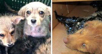 Freiwillige finden 4 Hunde, die im Teer gefangen sind, aber sie erkennen, dass sie sie immer noch retten können