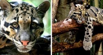 Un leopardo estinto da decenni è stato avvistato in Taiwan: la notizia ha sorpreso gli zoologi